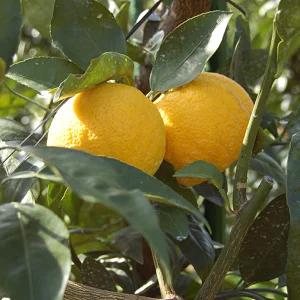 花粉症 じゃばら 柑橘類 効果 ちゃちゃ入れマンデー 和歌山 フルーツ